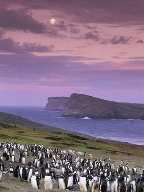 Gentoo Penguin Colony at Twilight, Pygoscelis Papua, Falkland Islands by Frans Lanting