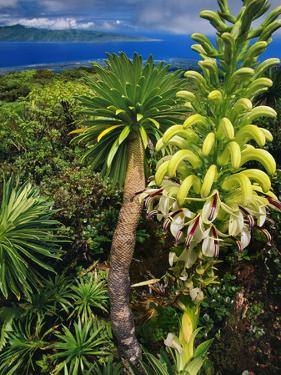 Giant Lobelia, Lobelia Gloria Montis, Lobelia Watershed Preserve, Maui, Hawaii by Frans Lanting