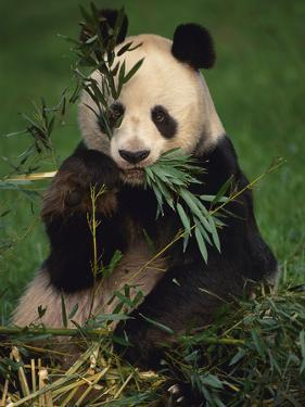 Giant Panda Eating Bamboo, Ailuropoda Melanoleuca, Native to China by Frans Lanting
