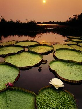 Giant Water Lilies at Sunset, Victoria Regia, Paraguay River, Pantanal, Brazil by Frans Lanting