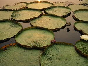 Giant Water Lilies, Victoria Regia, Paraguay River, Pantanal, Brazil by Frans Lanting