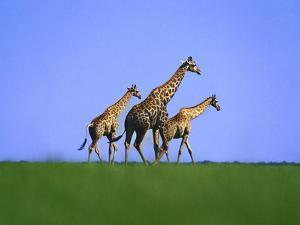 Giraffes on Short Grass Plains, Giraffa Camelopardalis, Chobe National Park, Botswana by Frans Lanting