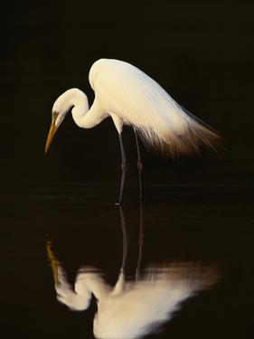 Great Egret in Lagoon, Pantanal, Brazil by Frans Lanting