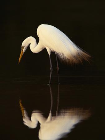 Great Egret in Lagoon, Pantanal, Brazil