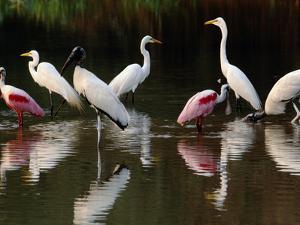 Great Egrets, Ardea Alba, Wood Storks, Mycteria Americana, and Roseate Spoonbill, Pantanal, Brazil by Frans Lanting
