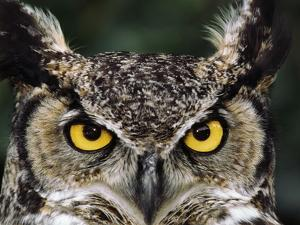 Great Horned Owl, Bubo Virginianus, Monterey Bay, California by Frans Lanting