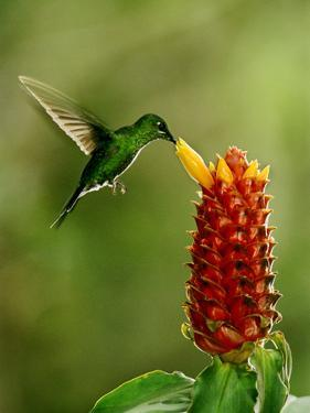 Green-Crowned Brilliant Hummingbird, Heliodoxa Jacula, Monteverde Cloud Forest Reserve, Costa Rica by Frans Lanting