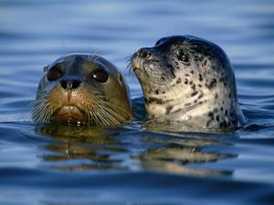 Harbor Seals, Phoca Vitulina, Monterey Bay, California by Frans Lanting
