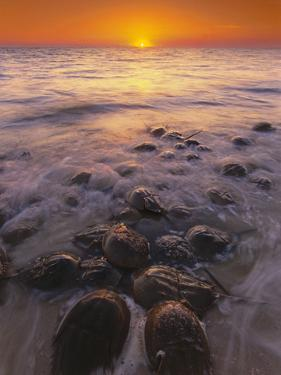 Horseshoe Crabs Spawning, Limulus Polyphemus, Delaware Bay, New Jersey by Frans Lanting