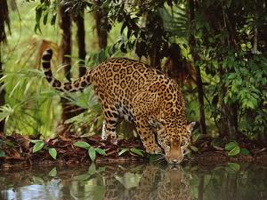 Jaguar Drinking, Panthera Onca, Belize by Frans Lanting