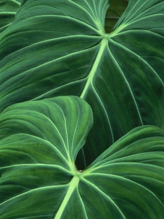 Jungle Foliage, Atlantic Forest, Brazil by Frans Lanting