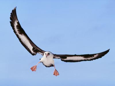 Laysan Albatross Landing, Phoebastria Immutabilis, Hawaiian Leeward Islands