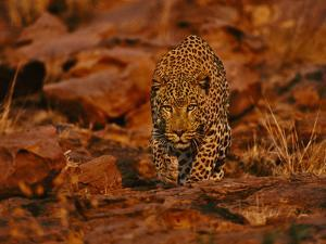 Leopard Male Stalking, Panthera Pardus, Namibia by Frans Lanting