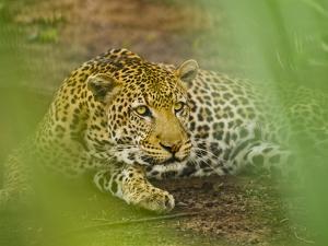 Leopard, Niokolo-Koba National Park, Senegal by Frans Lanting
