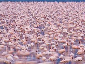 Lesser Flamingos, Phoenicopterus Minor, Lake Nakuru National Park, Kenya by Frans Lanting