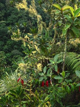 Lichen and Ferns in Montane Rainforest, Vilcabamba, Peru by Frans Lanting