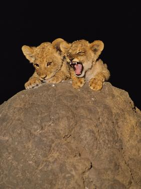 Lion Cubs on Termite Mound, Panthera Leo, Chobe National Park, Botswana by Frans Lanting