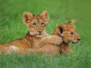 Lion Cubs Playing, Masai Mara National Reserve, Kenya by Frans Lanting