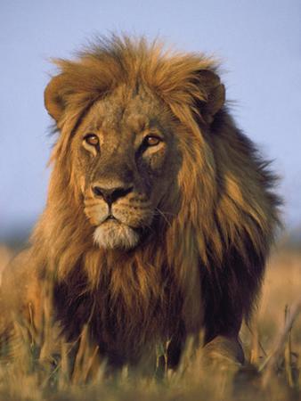 Lion, Panthera Leo, Chobe National Park, Botswana