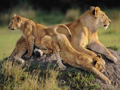 Lioness with Cubs, Panthera Leo, Masai Mara Reserve, Kenya by Frans Lanting