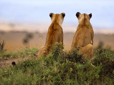 Lionesses Watching for Prey, Panthera Leo, Masai Mara Reserve, Kenya by Frans Lanting