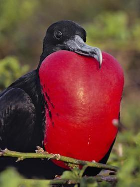 Magnificent Frigate Bird Male, Fregata Magnificens, Galapagos Islands by Frans Lanting