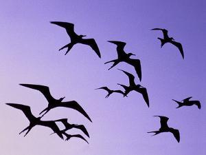 Magnificent Frigate Birds in Flight, Fregata Magnificens, Belize by Frans Lanting