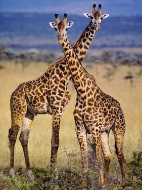 Masai Giraffes, Giraffa Camelopardalis Tippelskirchi, Masai Mara Reserve, Kenya by Frans Lanting