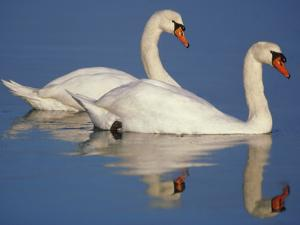 Mute Swans, Cygnus Olor, Netherlands by Frans Lanting