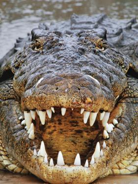 Nile Crocodile, Crocodylus Niloticus, Okavango Delta, Botswana by Frans Lanting