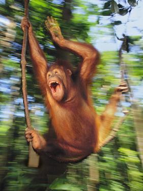 Orangutan Juvenile Swinging, Pongo Pygmaeus, Sepilok Reserve, Sabah, Borneo by Frans Lanting