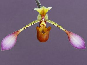 Orchid by Frans Lanting