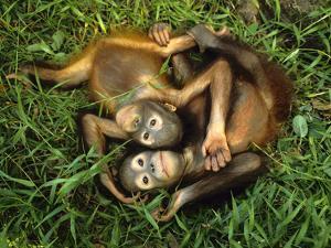 Orphaned Bornean Orangutans, Sepilok Reserve, Sabah, Borneo by Frans Lanting