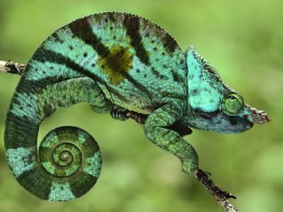 Parson's Chameleon, Calumma Parsonii, Madagascar by Frans Lanting