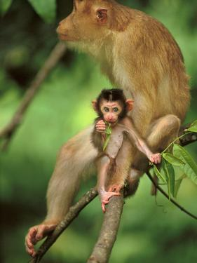 Pig-Tailed Macaque Mother and Infant, Macaca Nemestrina, Bako National Park, Borneo by Frans Lanting