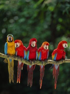 Scarlet Macaw, Ara Chloroptera, and Blue-And-Yellow Macaw, Ara Ararauna, Tambopata Nat'l Res, Peru by Frans Lanting