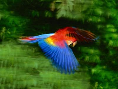 Scarlet Macaw in Flight, Ara Macao, Tambopata National Reserve, Peru by Frans Lanting