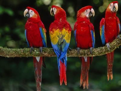Scarlet Macaws on Branch, Ara Macao, Tambopata National Reserve, Peru by Frans Lanting