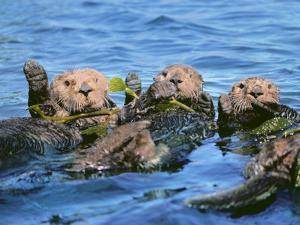Sea Otters in Kelp, Monterey Bay, California by Frans Lanting