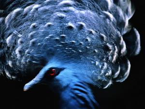 Victoria's Crowned Pigeon Male, Goura Victoria, Native of New Guinea by Frans Lanting