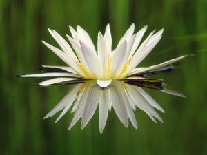 Water Lily Blooming, Okavango Delta, Botswana by Frans Lanting