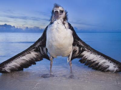 Waterlogged Laysan Albatross Juvenile, Phoebastria Immutabilis, Midway Atoll, Hawaiian Leeward Is