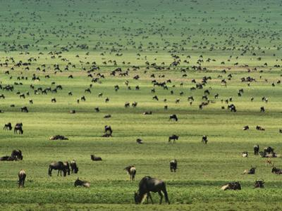 Wildebeests Grazing, Connochaetes Sp., Serengeti National Park, Tanzania by Frans Lanting
