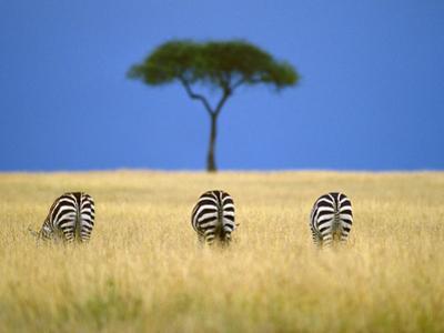 Zebras Grazing, Masai Mara Reserve, Kenya by Frans Lanting