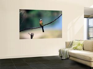 Little Bee Eater Sits on a Branch by Frans Lemmens