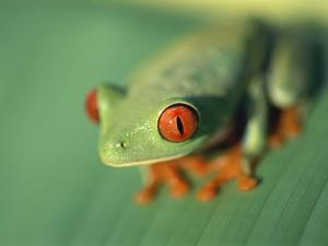 Red Eyed Tree Frog by Frans Lemmens