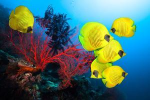 Underwater Image of Coral Reef and School of Masked Butterfly Fish by frantisekhojdysz