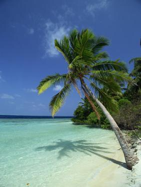 Palm Tree on a Tropical Beach on Embudu in the Maldive Islands, Indian Ocean by Fraser Hall