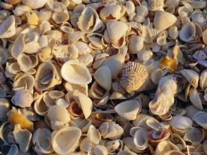 Sanibel Island, Famous for the Millions of Shells That Wash up on Its Beaches, Florida, USA by Fraser Hall