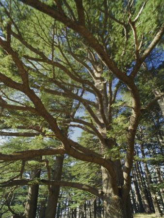 The Last Remaining Forest of Biblical Cedars, Cedar Forest, Lebanon, Middle East by Fred Friberg